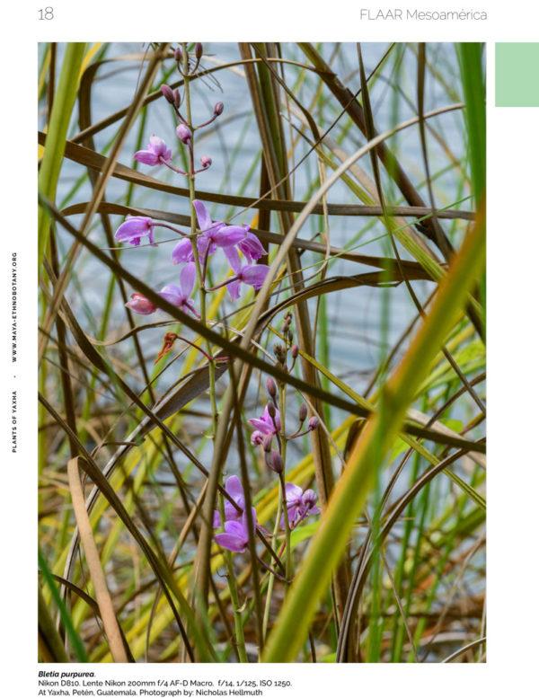 Bletia-vol1-Flora-Yaxha-FLAAR-Mesoamerica-Jan-2019-EN