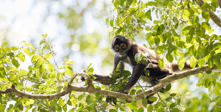 The Favorite Menu of the Spider Monkey in the Guatemalan Jungle