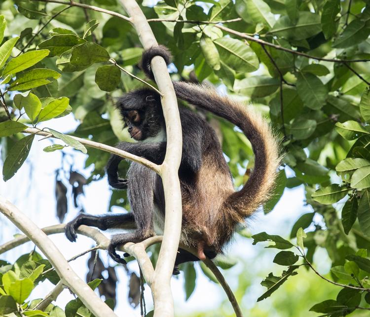 mono-araña-yaxha-guatemala-maya-fauna