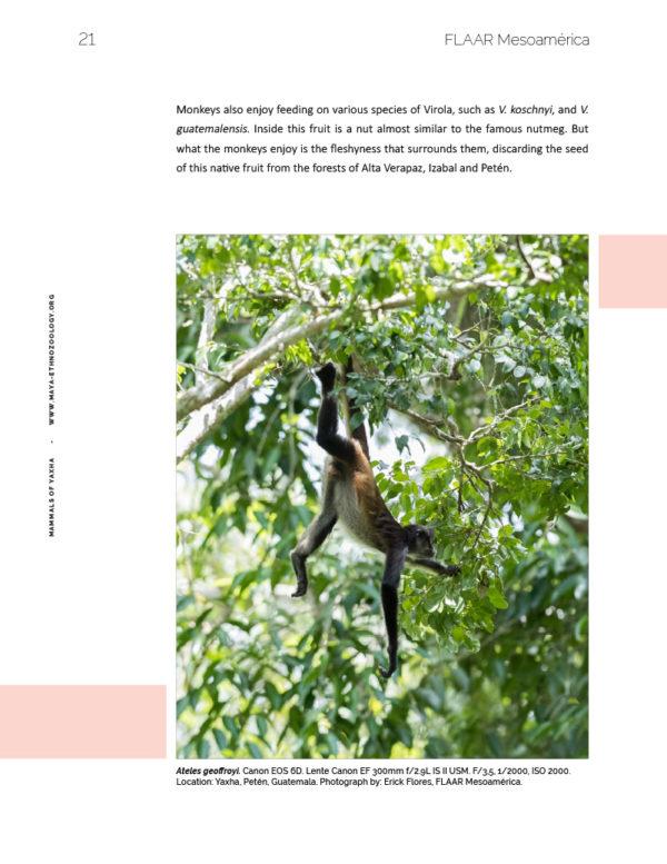 Spider-monkey-vol1-mammals-Yaxha-FLAAR-Mesoamerica-Jan-2019-ASD-eng-preview3