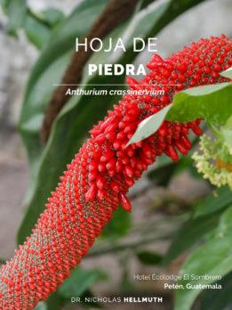 Hotel-Ecolodge-El-Sombrero-Anthurium-crassinervium-hoja-de-piedra-Gray-fox-Urocyon-cinereoargenteus-July-2019-Nicholas-Hellmuth-FLAAR-Mesoamerica-cover