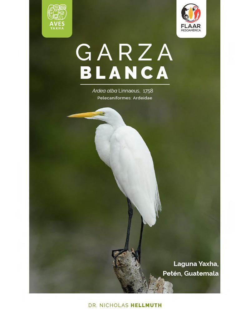 Great white Egret, Garza Blanca. Yaxha Brids, FLAAR-Mesoamerica