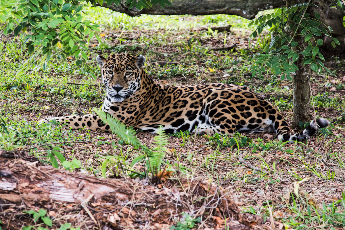Jaguar, speed 1/200, ISO 500, Camera NIKON D810 Ver.1.02, by Nicholas Hellmuth