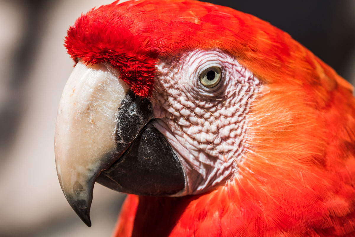 macaw, f11, speed 1/500, ISO 320, Camera NIKON D810 Ver.1.02, lens 200.0 mm f/4.0, by Nicholas Hellmuth