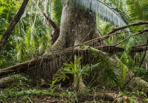 Ceiba found in Yaxha Nakum Naranjo National Park