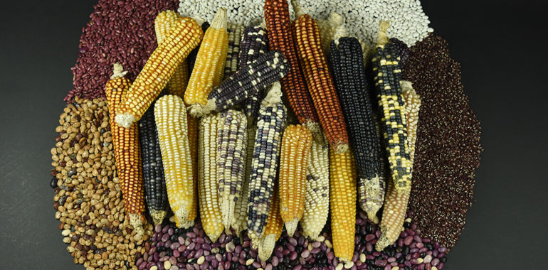 Maize: The most important crop for The Mayan Culture