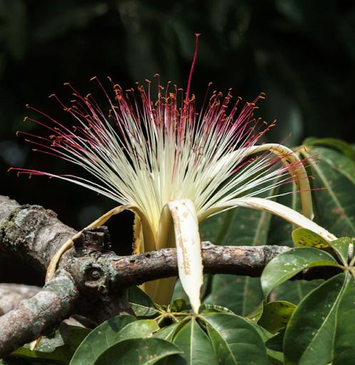Flower of Zapotón (Pachira aquatica). Río Petexbatún, 2020