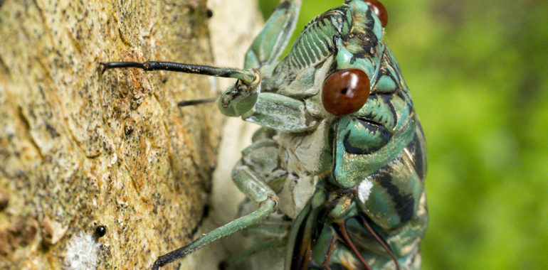 Cicadas: The singers of the forest