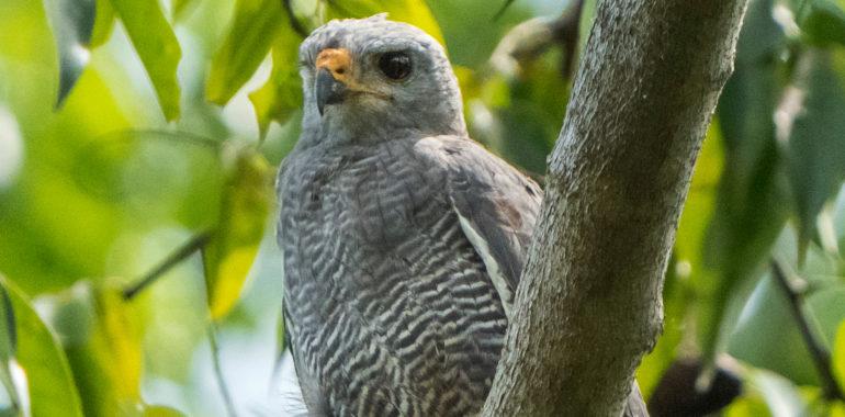 Gray lined Hawk (Buteo nitidus) a raptor bird seen at Lampara River